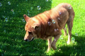 After adoption, a senior dog lives the dream