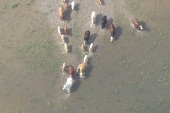 Herd of cows rescued from Texas flood