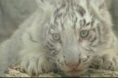 White tiger cubs meet public for first time