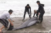 Rescuers aid beached dolphins in Japan