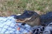 Alligator steals, eats sandwich from picnic