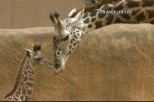 Baby giraffe makes spirited debut at LA zoo