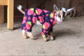 Baby goats dance around in their pajamas