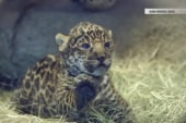 Meet the San Diego Zoo's newborn baby jaguar