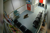 Curious koala visits Australia emergency room