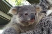 Koala joeys hang out at Australia zoo