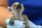Baby lemurs spar, hang out in North Carolina