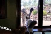 Unfazed cat faces off against mountain lion