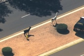 Pair of llamas run wild in Arizona