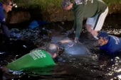 Rescuers work to free trapped manatees