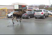 Wily moose runs amok in Canadian town