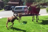 Moose family beats the heat with a sprinkler
