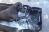 Smart dog cools off in storage bin 'pool'