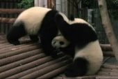 Watch these adorable panda cubs wrestle