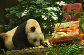Giant Panda breaks records