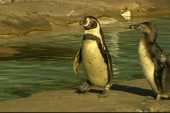 Scientists analyze mysterious penguin ...