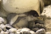 Baby penguin draws big crowds in Japan