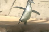 Brave baby penguin swims for the first time