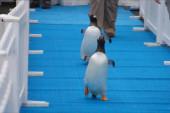 Penguins take springtime stroll at Detroit...