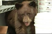 Bear cub discovered in Colorado pizza shop