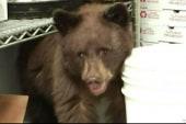 Bear cub discovered in Colorado pizza shop