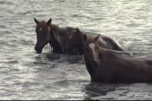 Wild ponies hit the water in Chincoteague, VA