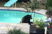 Bear beats the heat by jumping in pool