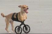 2-legged puppy gets a cool set of wheels