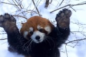 Watch these red pandas go nuts in the snow