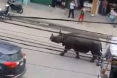 Rhinoceros on rampage in Nepal town