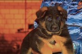 Russia sends puppy to France