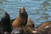 Sea lions invade coastal Oregon town
