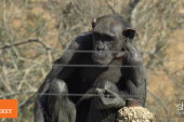 ICYMI: Chimpanzees take step toward human...