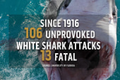 Surge in great white shark population
