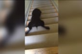 Lazy puppy slides, not walks, down stairs