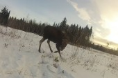 Man films being beat up by baby moose
