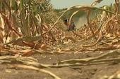 Heat wave shrinking corn, soybean crops