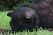 Florida bear eats dog food, passes out