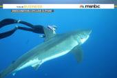 Shark whisperer: Swimming with sharks