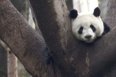 Panda language cracked by scientists