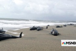 #BIGPICTURE 38 pilot whales stranded on remote New Zealand beach