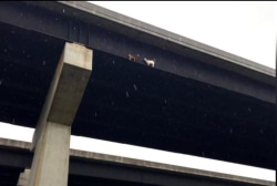 #BIGPICTURE: Goats rescued from side of Pennsylvania bridge