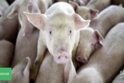 Why pig farms are big polluters
