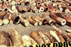 Poaching trade traced to terrorist camps