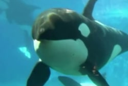 SeaWorld San Diego ending orca show
