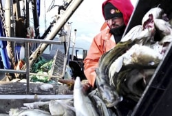 Cod population declines to dangerous levels