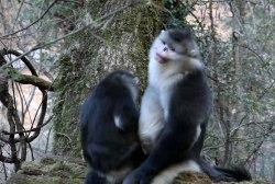 Filmmakers document endangered monkey