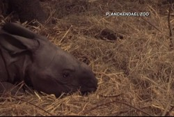 Baby one-horned rhino debuts at Belgian zoo