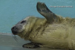 Adorable newborn seal hops, crawls at IL zoo