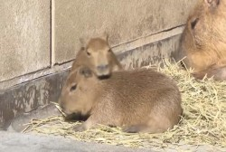Baby capybaras debut at Japanese zoo
